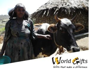 Oxen in Ethiopia World Gifts Assembly 2016
